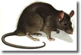 Les rats mode de vie reproduction habitudes alimentaires france deratisation - Odeur que les rats detestent ...