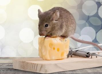 La souris grise france deratisation - Petite souris qui danse ...